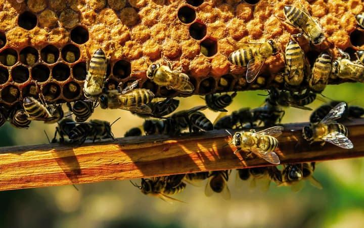 Mật ong rừng và mật ong nuôi có gì khác nhau?