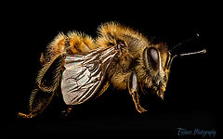 Loài ong thây ma như phim kinh dị?
