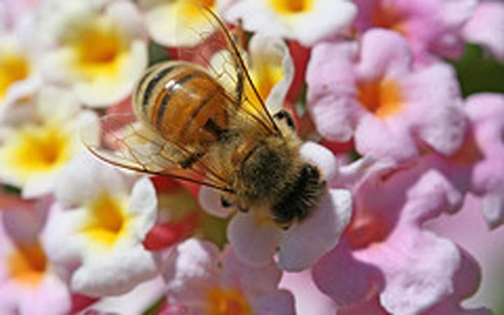 Tại sao nhiều tổ ong để gần nhau mà khi đi làm về ong không bị lạc tổ?