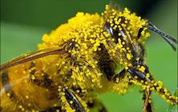 Ong luyện mật hoa thành mật ong như thế nào?