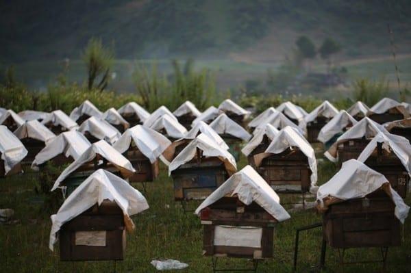 Mộc Châu, nơi những cô ong về lấy mật