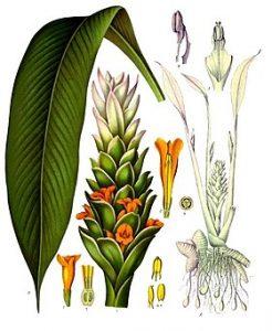 280px Curcuma longa Köhler–s Medizinal Pflanzen 199